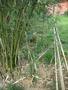 bambus de gradina